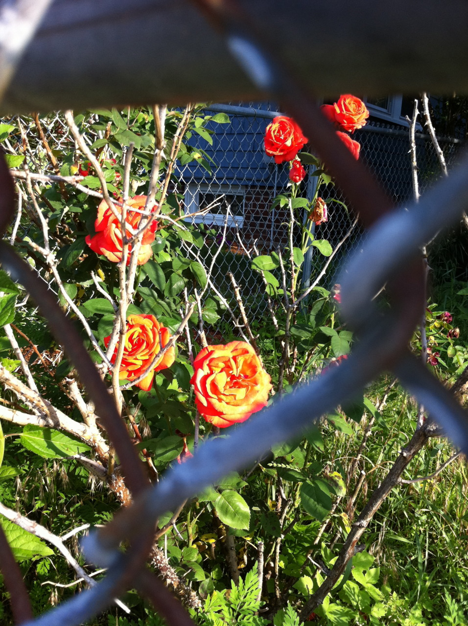 Roses, fenced in.