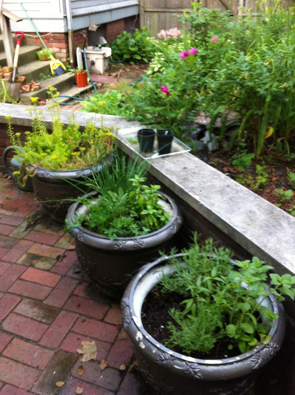 Patio pots - mint, rosemary, lavender, lemon verbena. Chives, basil, oregano, sage. Need thyme! Crazy sedum variety in last.