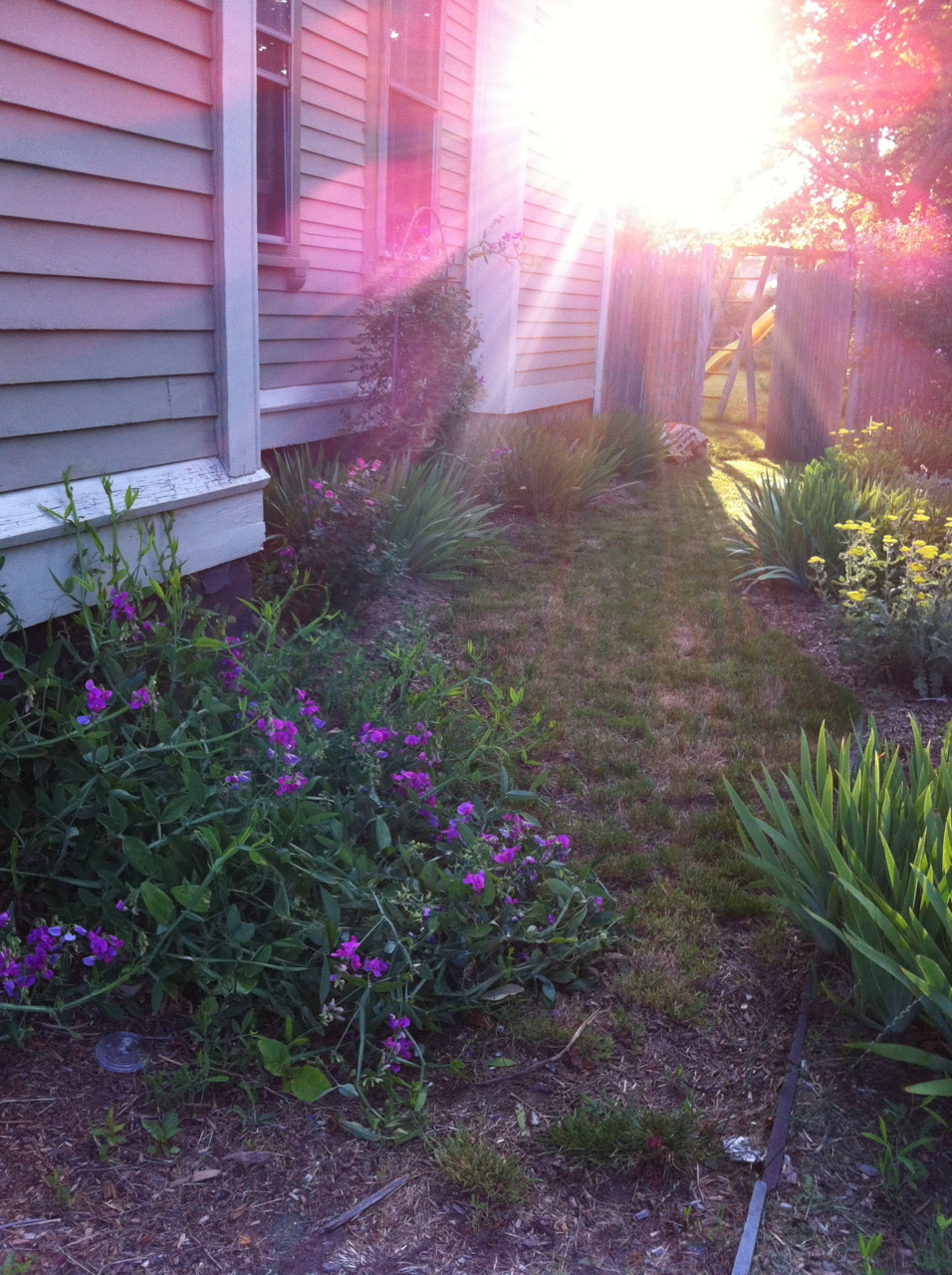 Side garden - leading to the back yard. Sweet pea vine (needs trellis!); Clematis, knockout roses, bearded irises along left side. Along the right: more irises, yarrow, climbing sweetheart rose on fence.