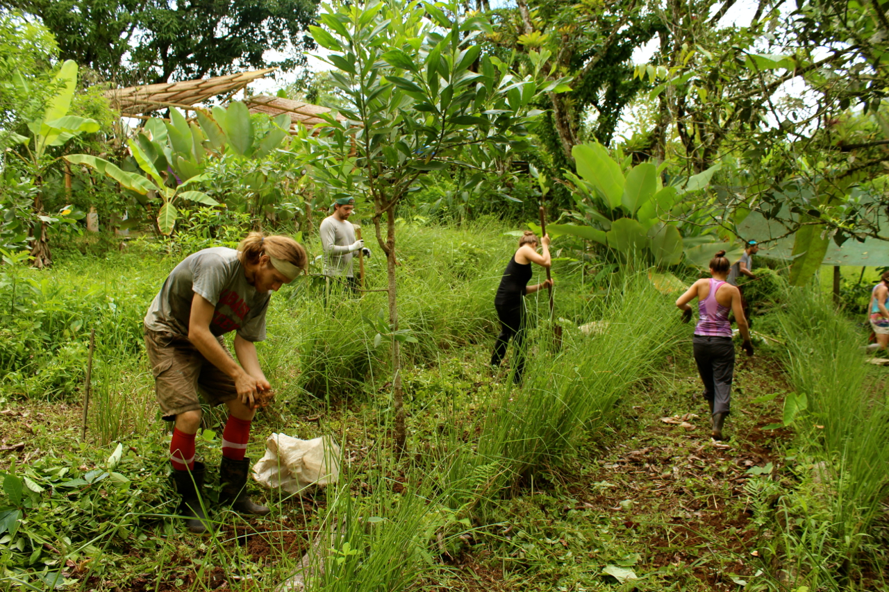 Permaculture Planting Tropical Tubers