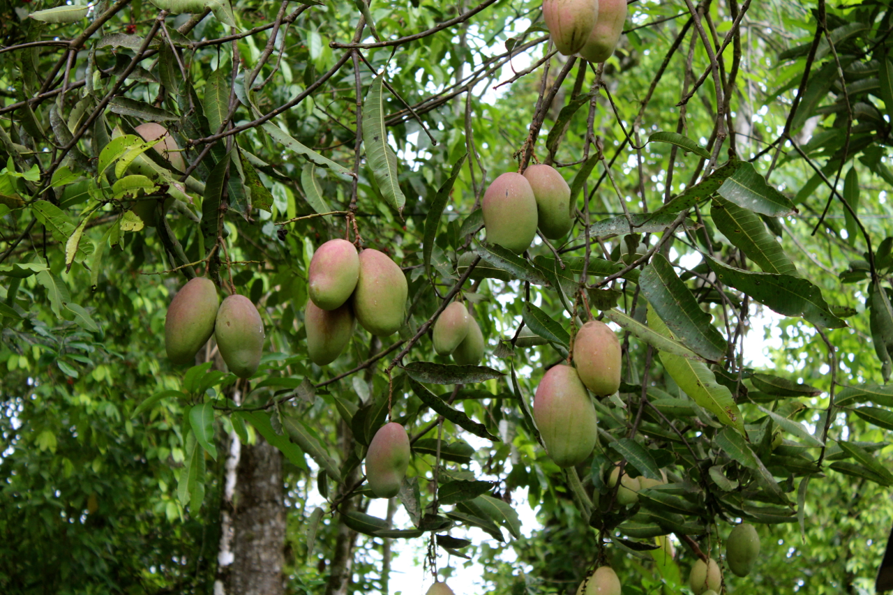 Permaculture Mango Costa Rica