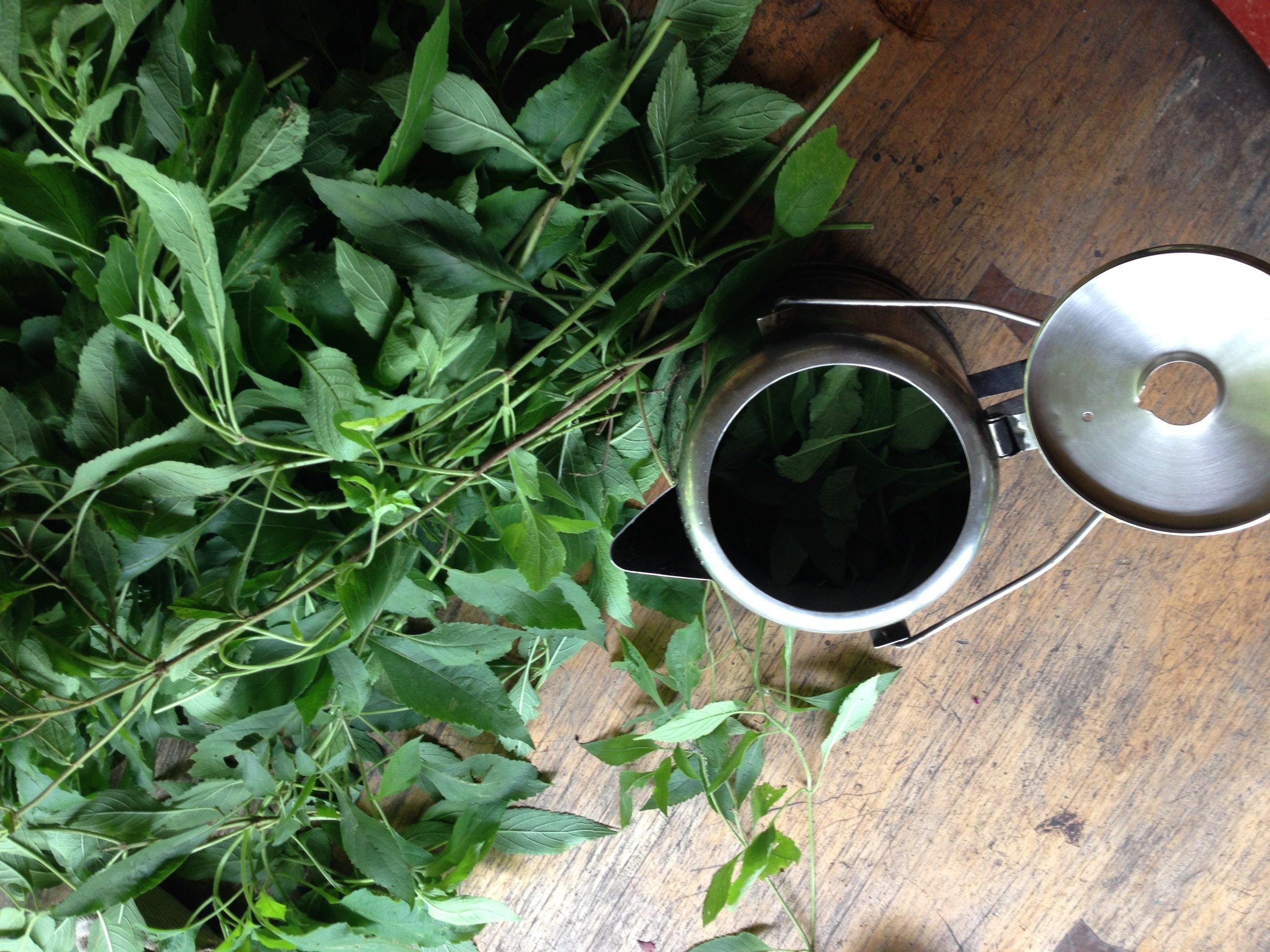 Tulsi or Sacred Basil harvested for tea.