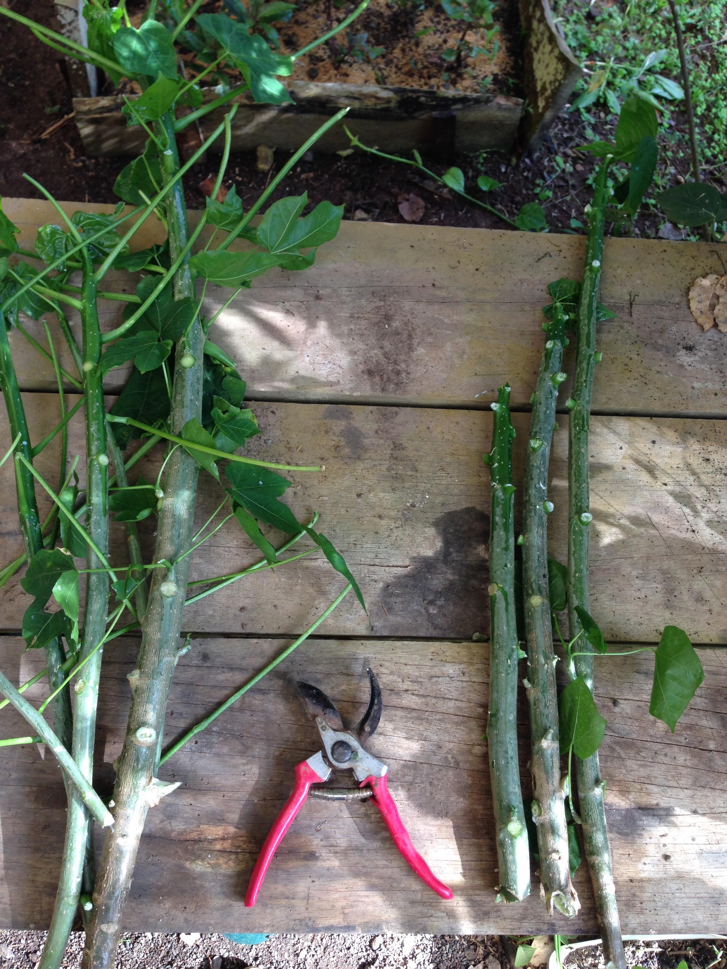 Chaya cuttings from the garden.