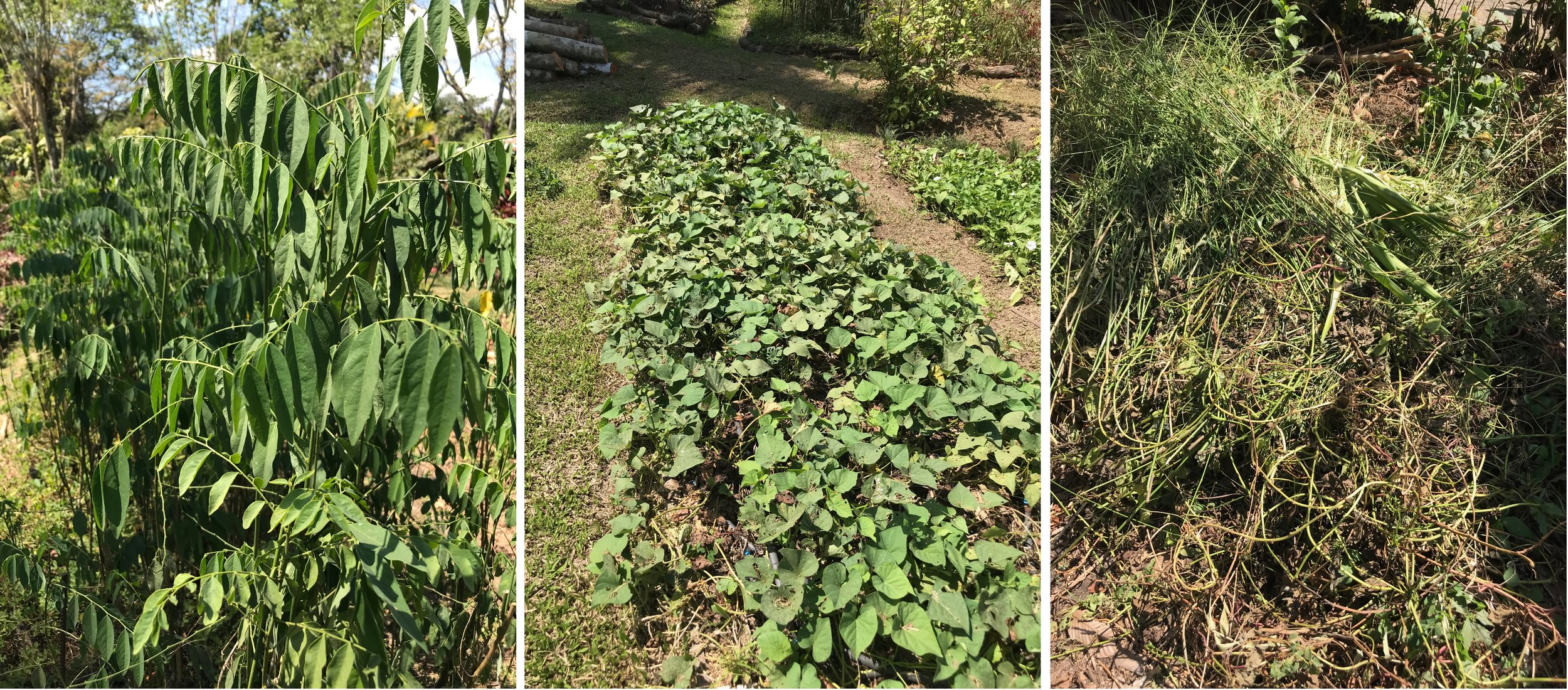 Katuk, Sweet Potato vines, some examples of vines used for basket weaving.