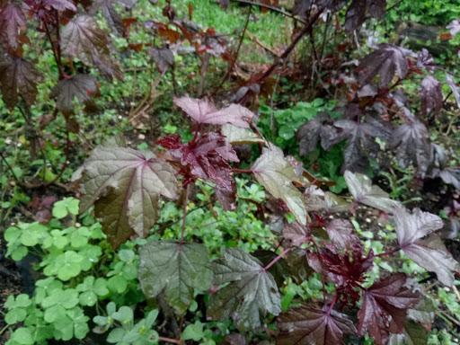 cranberry hibuscus.jpg