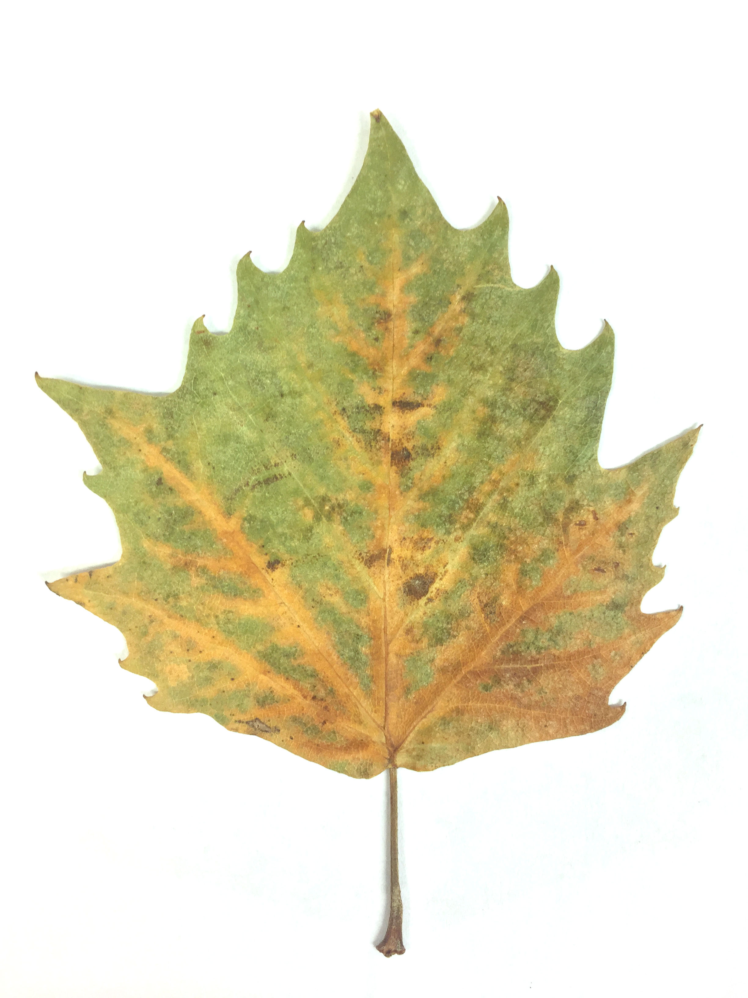 The original Plane tree leaf!