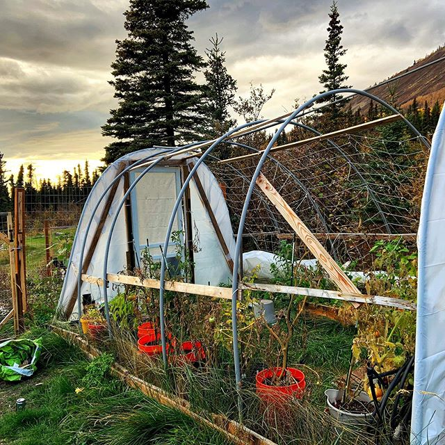 Unwrapped the greenhouse for the winter snow and harvested the last of the garden goods. Cut and hung herbs to dry for next summers use. It's always sad to walk away from the garden for the season but it makes it that much more enjoyable for spring! #alaskaliving #glampingalaska #907life #alaskagrown #gardeninginalaska #lastoftheharvest #greenhouses