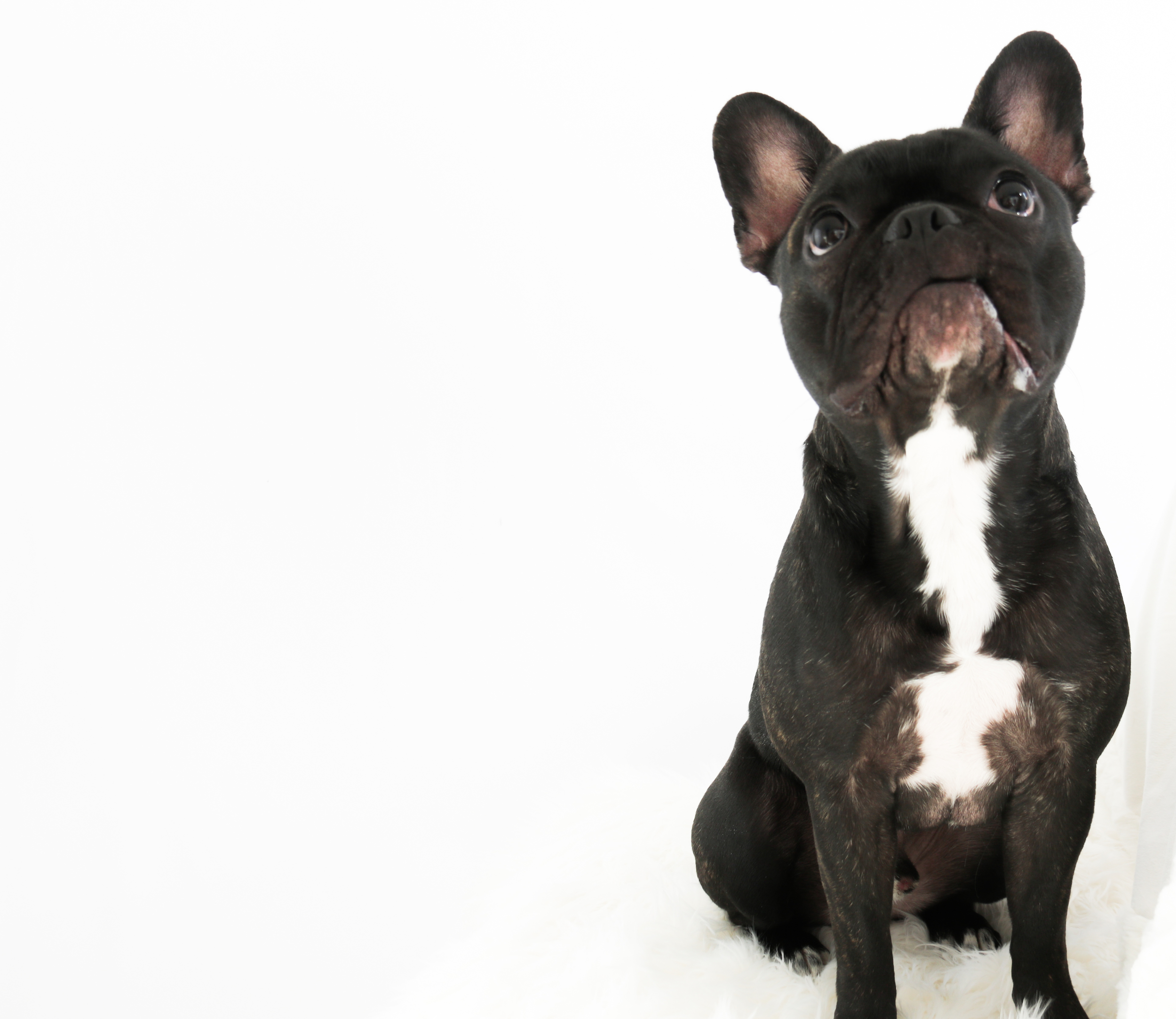 Chicago French Bulldog Photo