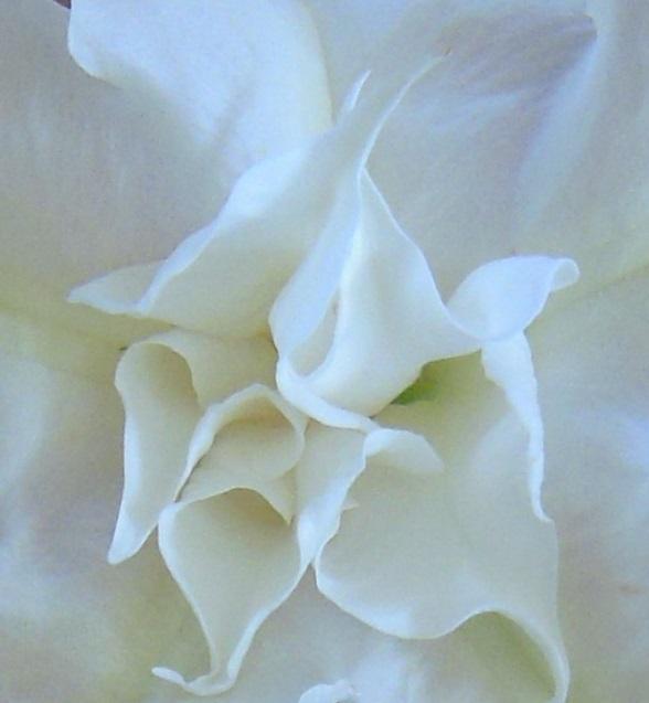 (Angel's Trumpet — grown in Belvedere, CA — by Halina Bak-Hughes)