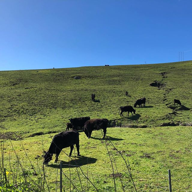 #natureart #cows #bucolic #Jenner #northcoast #sonoma #california
