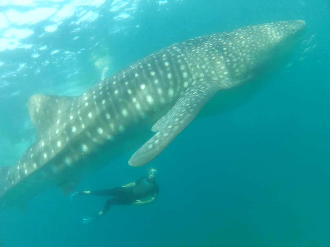 Chris_WhaleShark1.jpg