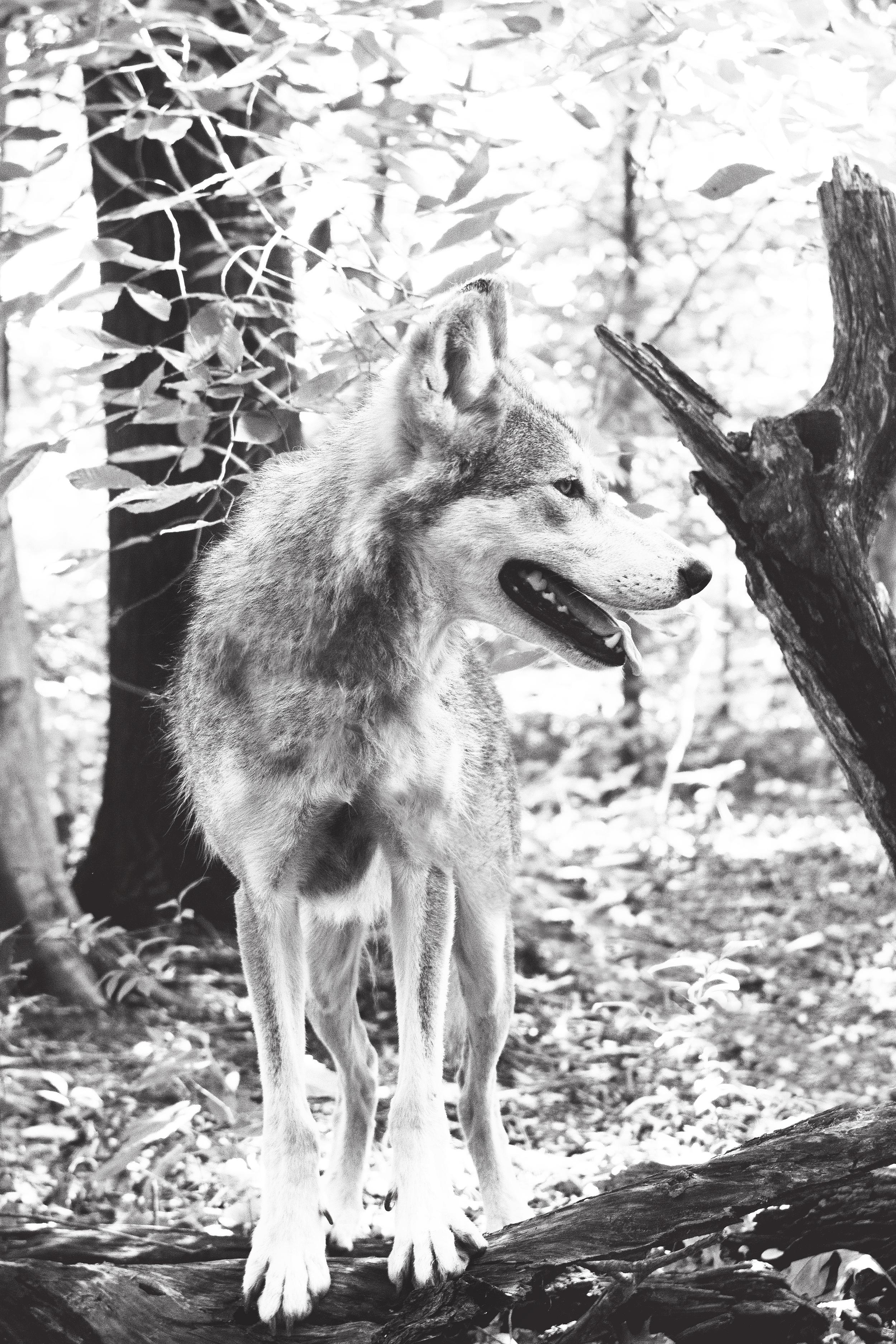 wolf1bw.jpg
