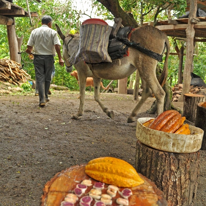 Don Fortunato harvests his white cacao beans and prepares to lead them out of the farm by burro