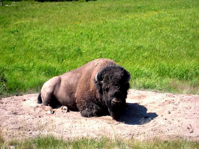 Staring Bison
