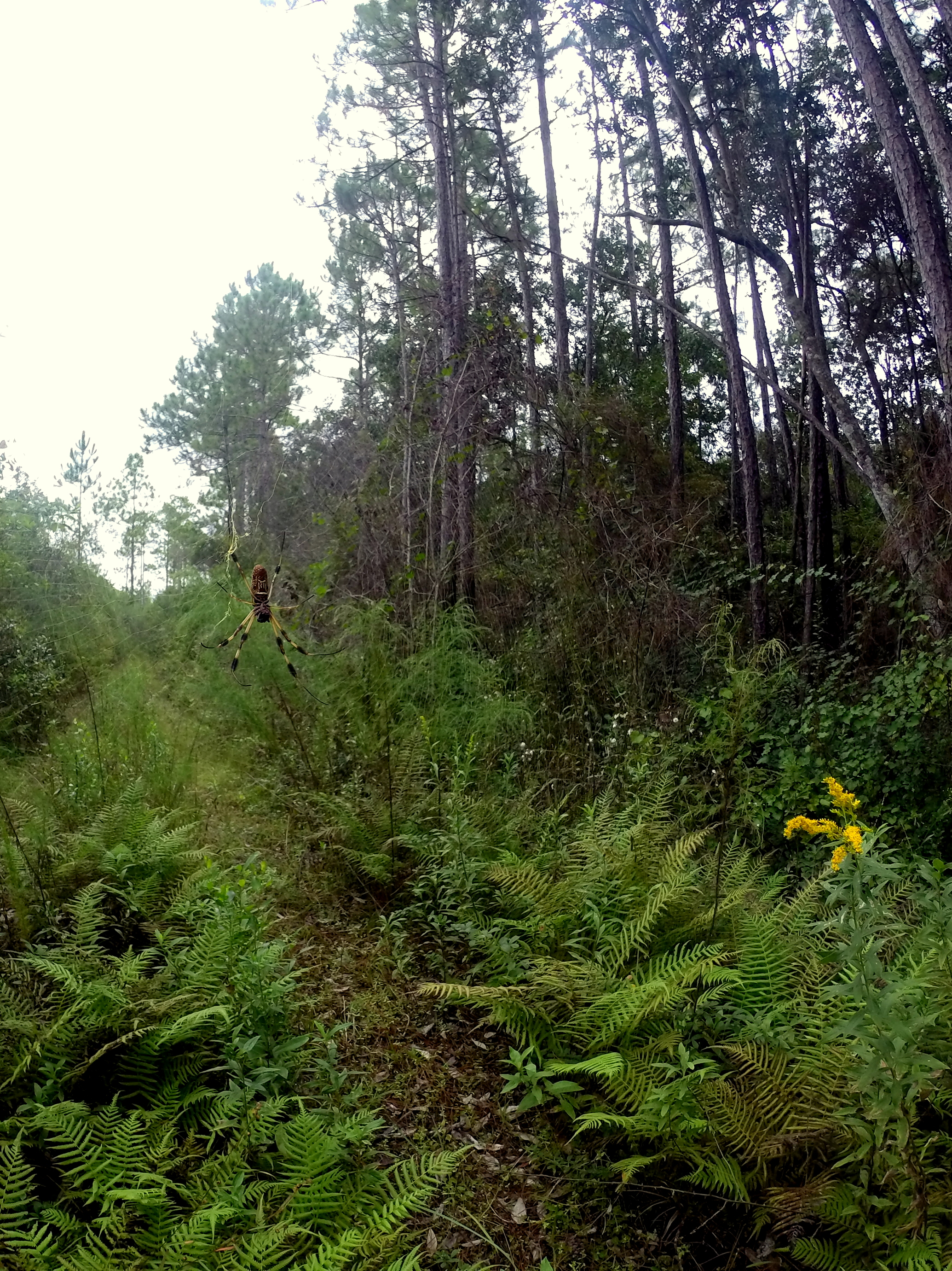 Apalachicola National Forest SPIDER △ Florida National Scenic Trail