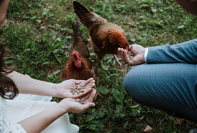 Don't forget to feed your chicken before going down the isle! When @kayladorko told me that their vision for their day was an easy morning on their 10 acre property, highlighting their animals and chicken, I was 💯 on board.  It's your day. Make your own traditions. . . . . . #bride #groom #ohio #wedding #photographer #weddingphotography #ohioweddings #aperture #aperturephotography #summer #chicken #farm #feed #affobpresets #vsco #vscocam #nikon #nikontop