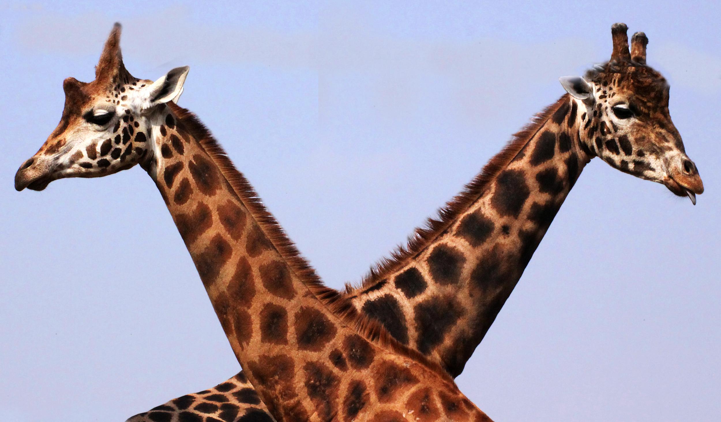 Giraffe Crossing!
