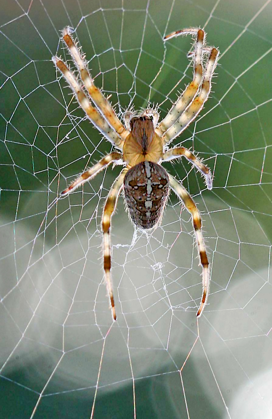 Spider in it's web
