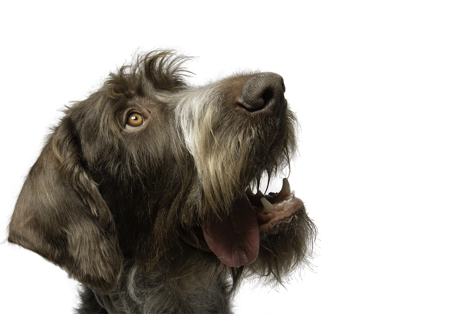 Modern high-key portrait of a German Wirehaired Pointer