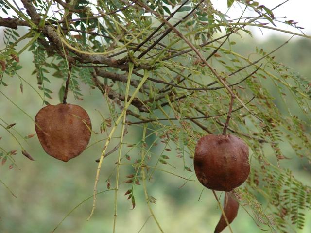 jacaranda-seeds.jpg