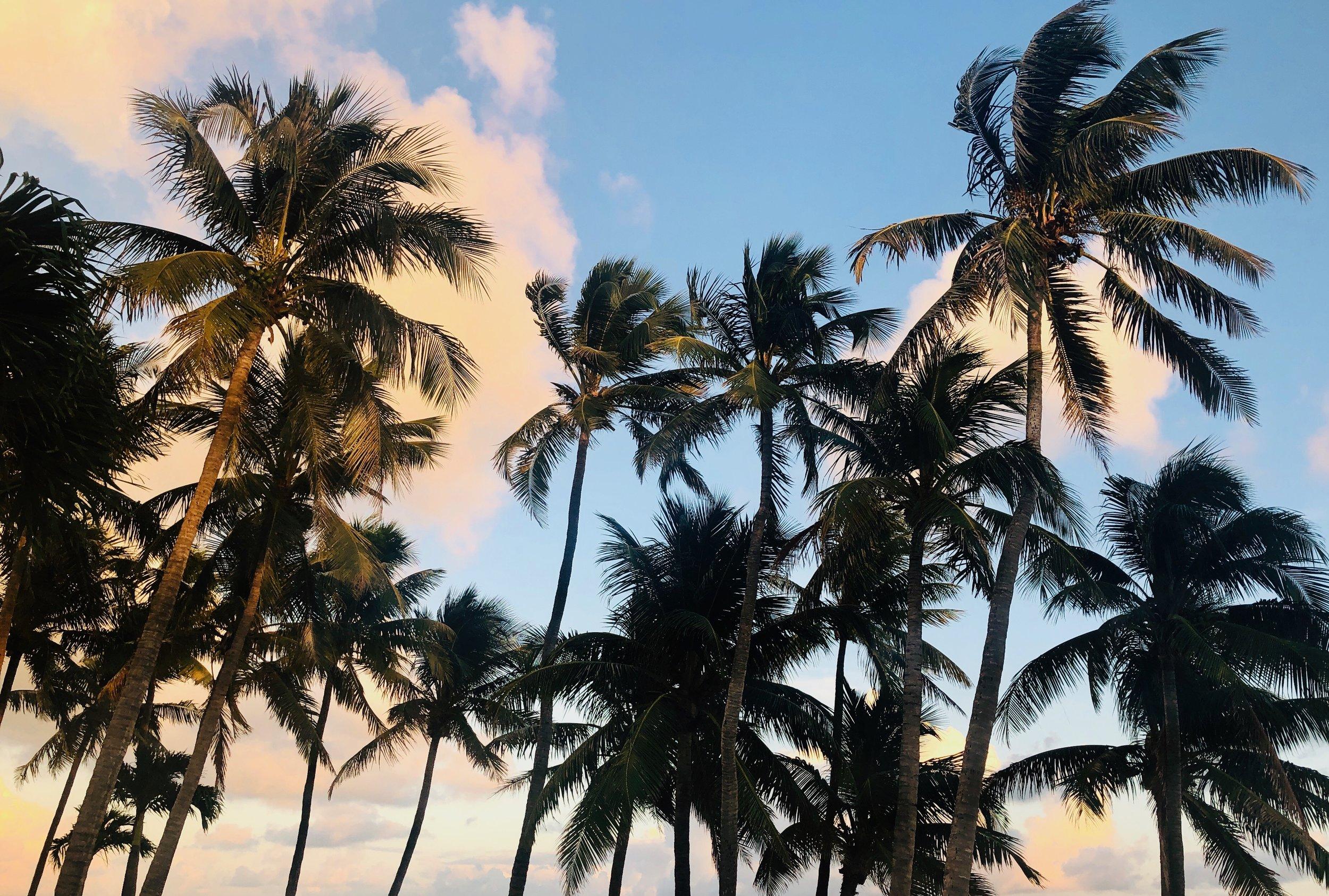 An abundance of palm trees in Islamorada.