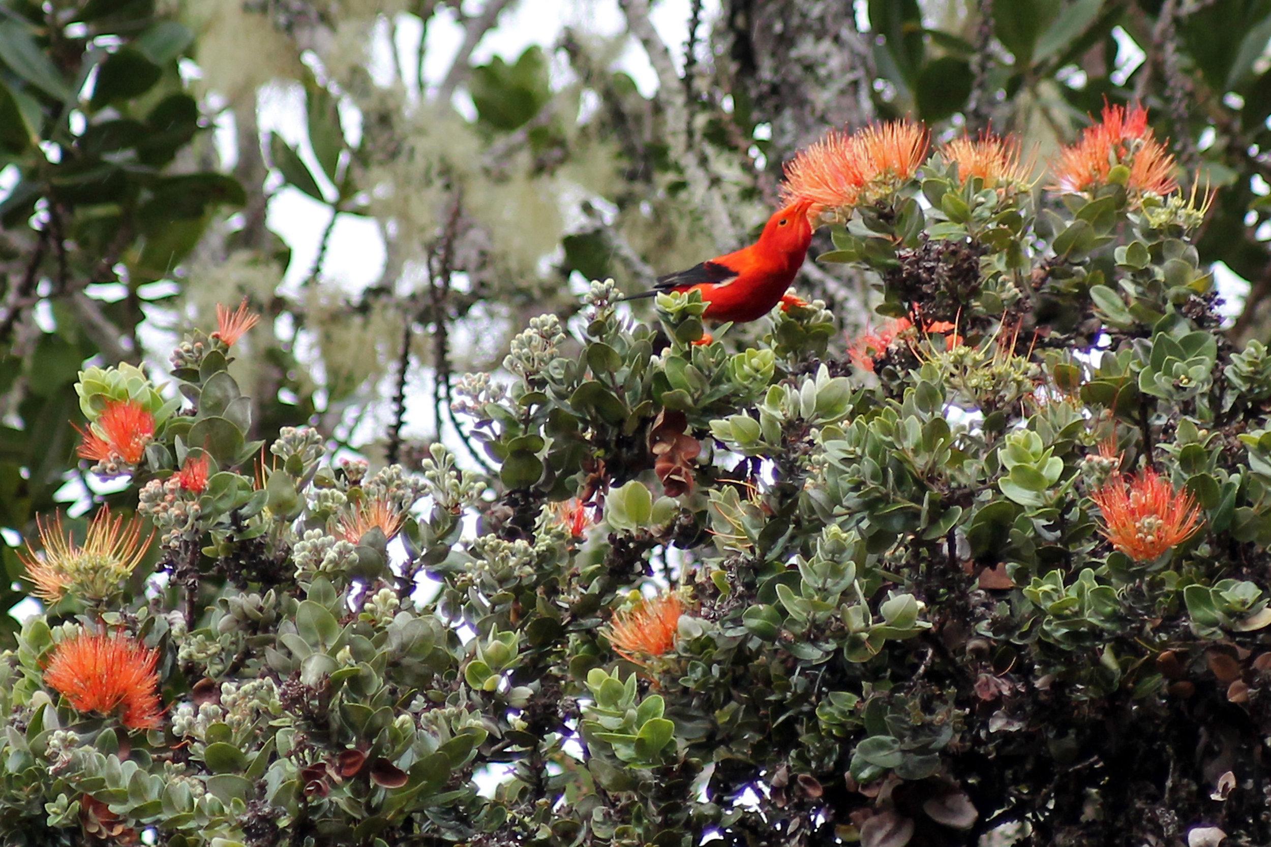 The Hawaiian honeycreeper bird ʻiʻiwi may lose its home to the Rapid ʻOhiʻa Death razing Hawaiʻi's forests. (Photo © Jared Bernard)