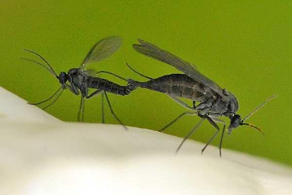 Mating dark-winged fungus gnats,  Lycoriella ingenua.  (©2009 J.K. Lindsey at commanster.eu)
