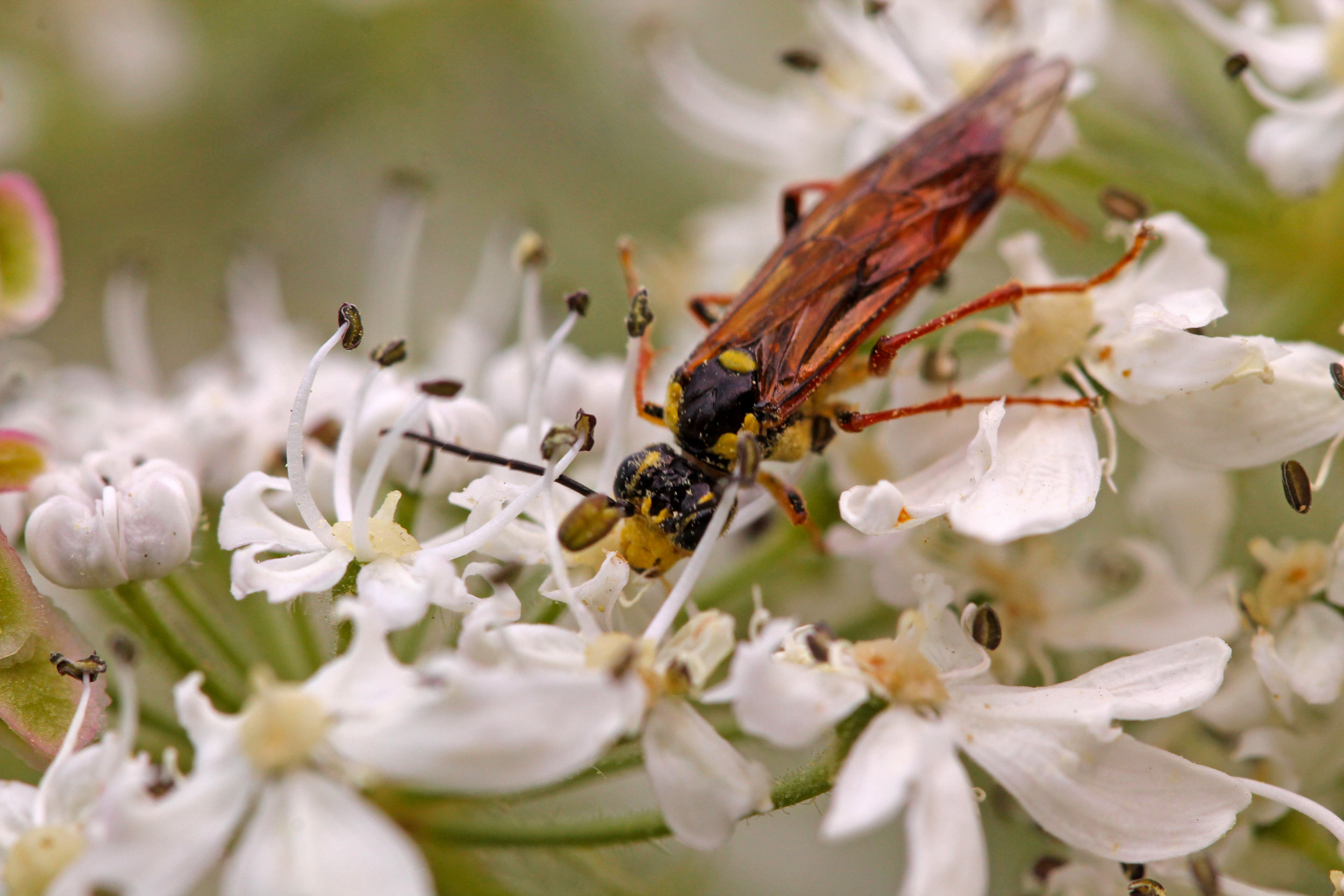 This wasp pollinates as she searches for nectar on cow parsnip in Chilkoot Lake State Recreation Site in Alaska. (© Jared Bernard)