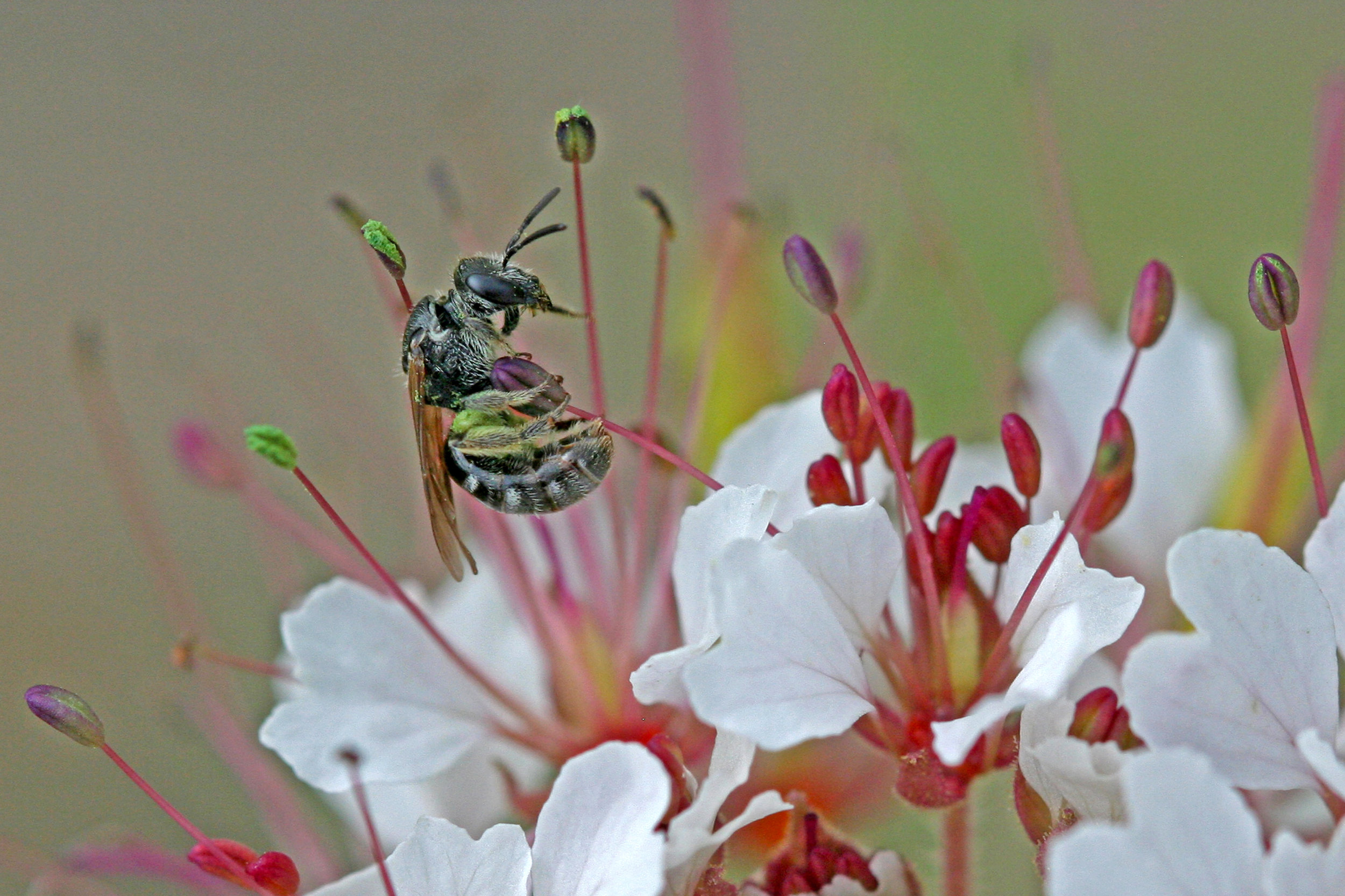 Halictus tripartitus on Polanisia dodecandra in CFB Suffield, Alberta 2013