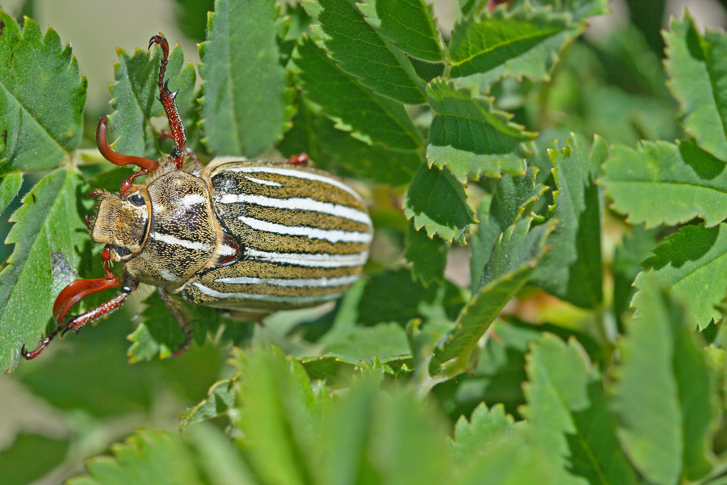 Polyphylla decemlineata in CFB Suffield, Alberta 2013