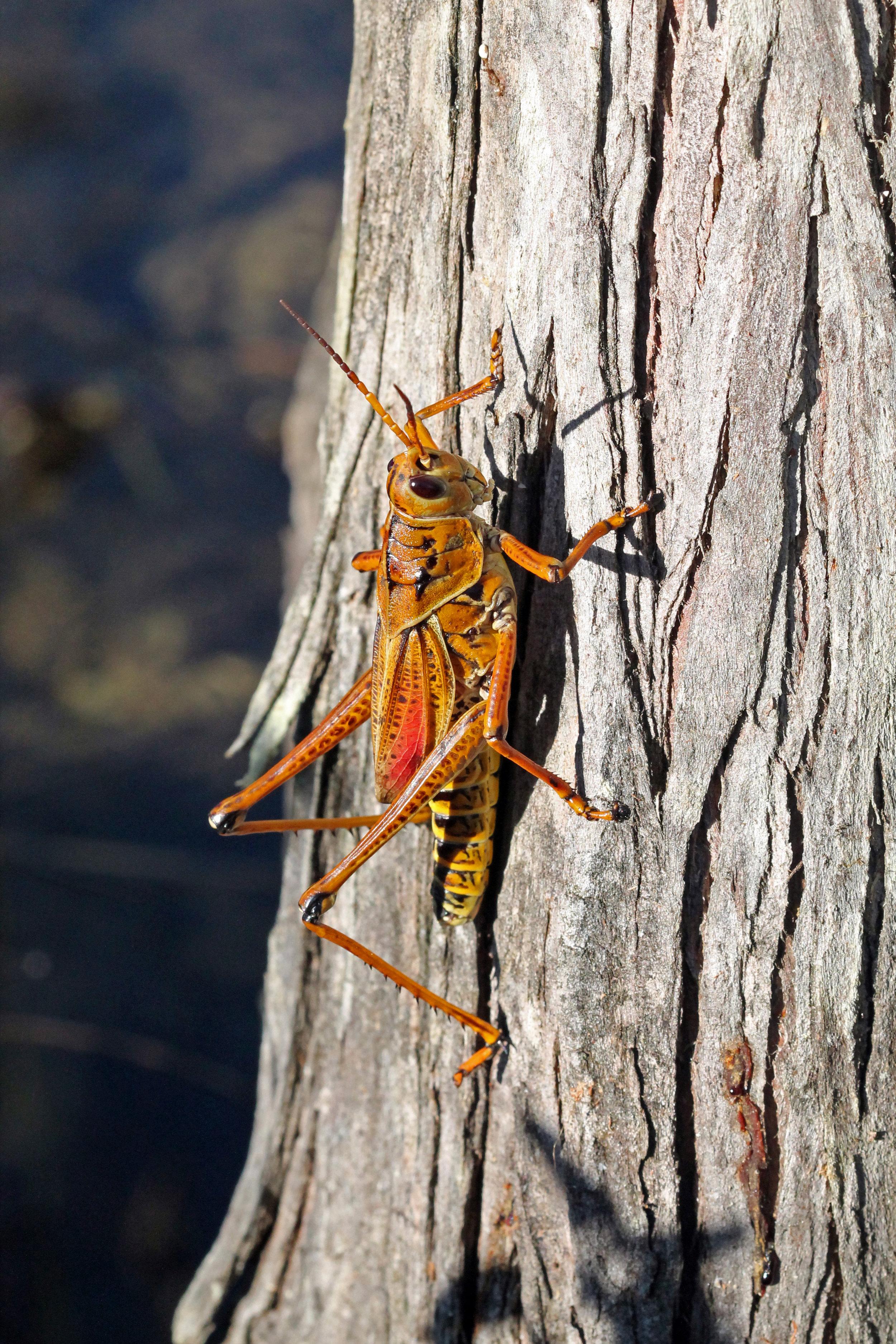 Romalea microptera in Big Cypress National Preserve, Florida 2014