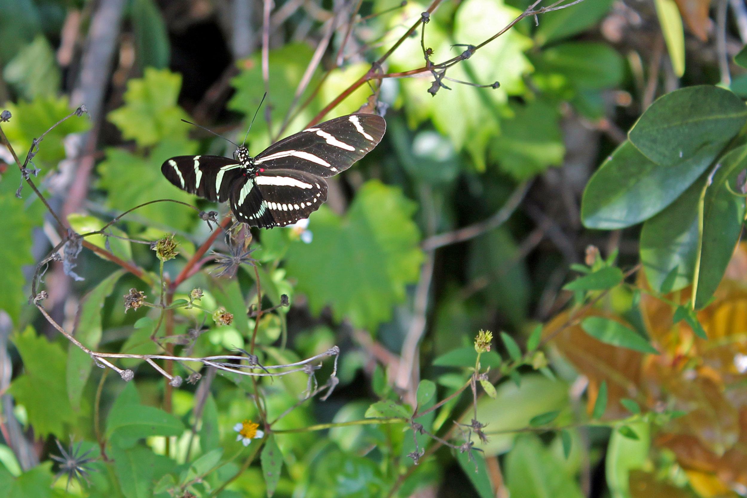 Heliconius charitonius on Bidens pilosa in Everglades NP, Florida 2014