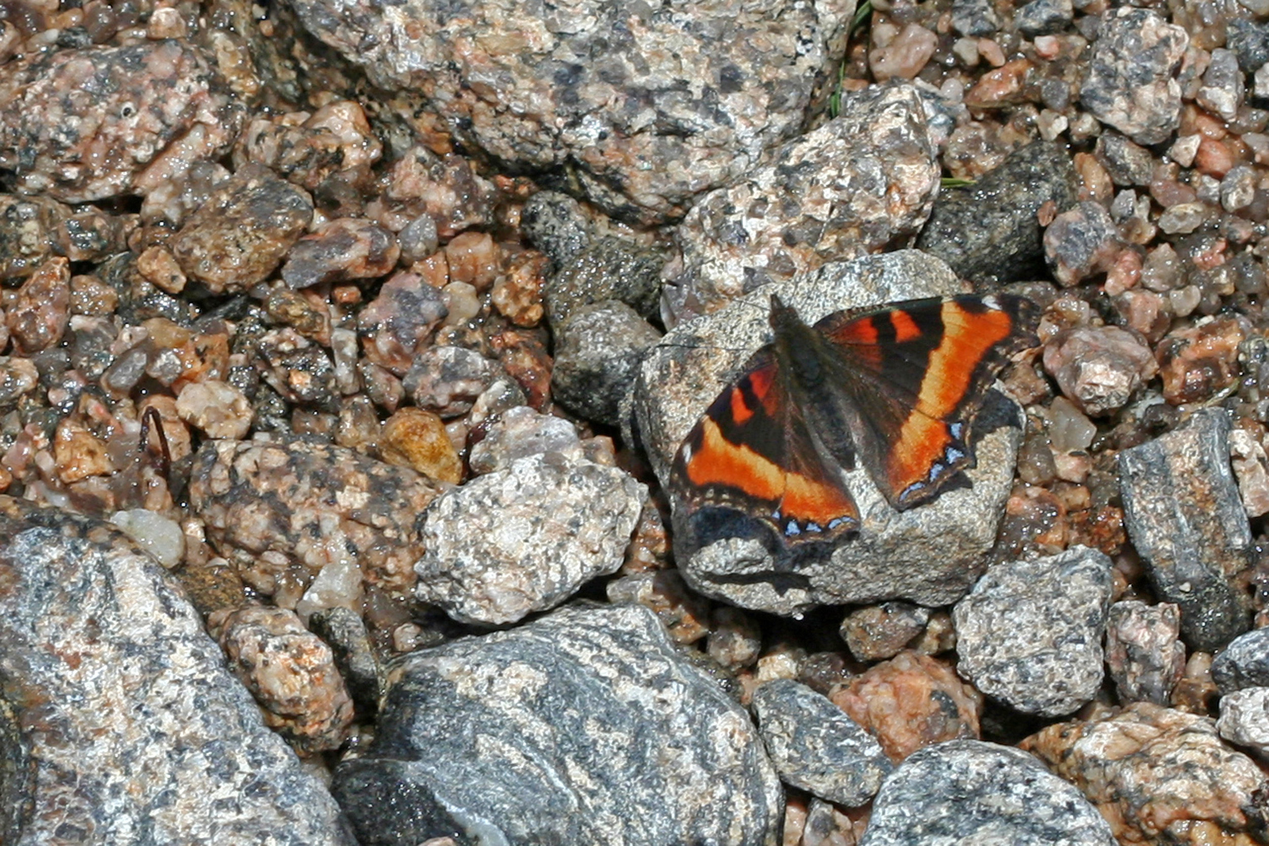 Aglais milberti at Longs Peak in Rocky Mountain NP, Colorado in 2013