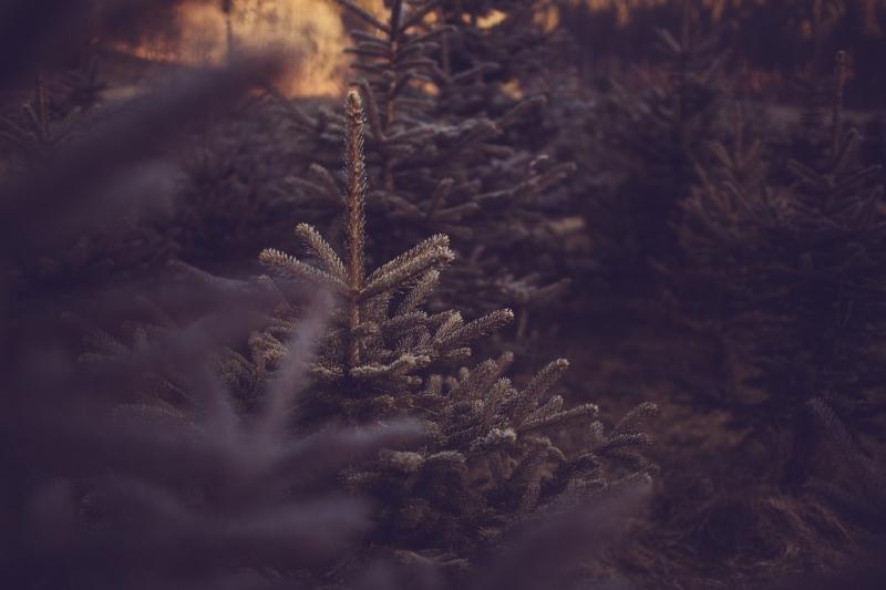 Christmas trees Martina Margarete Berger Photography Kärnten