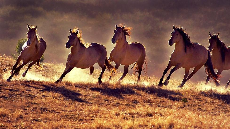 wild-horses-running-free.jpg