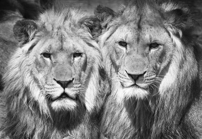lions-1660044_960_720.jpg