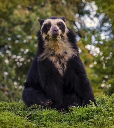 andean bear.jpg