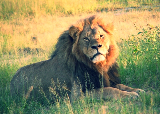 Cecil_the_lion_at_Hwange_National_Park_(4516560206).jpg