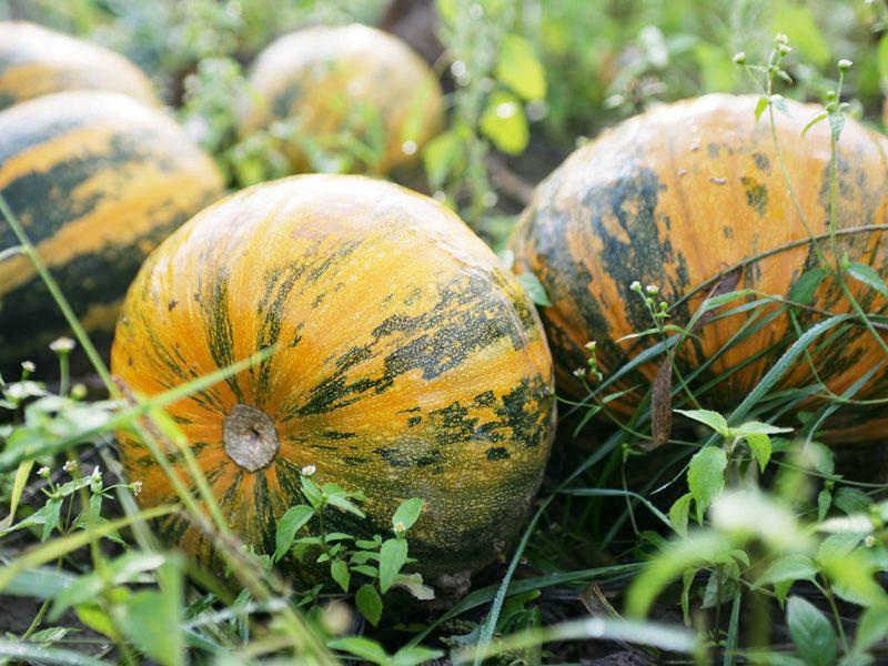 StyrianPumpkin.jpg