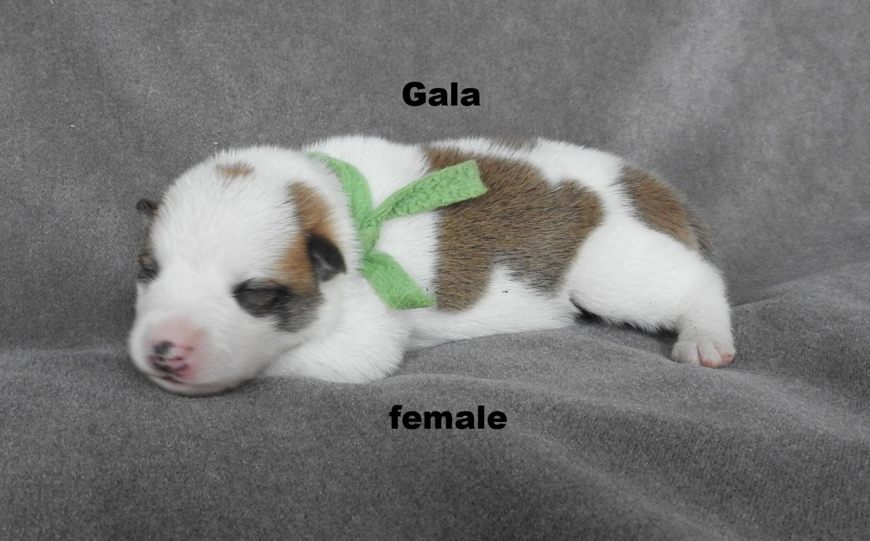 Gala.jpg