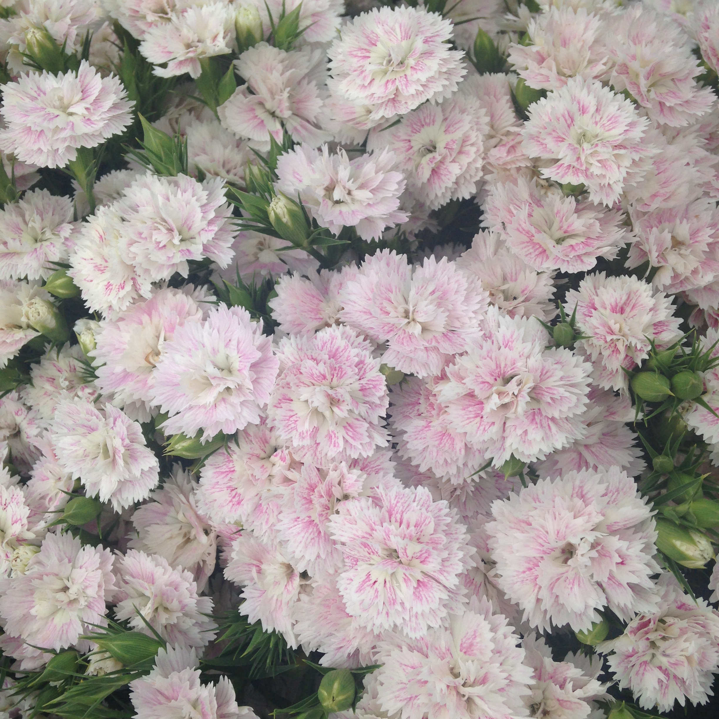 dynasty dianthus