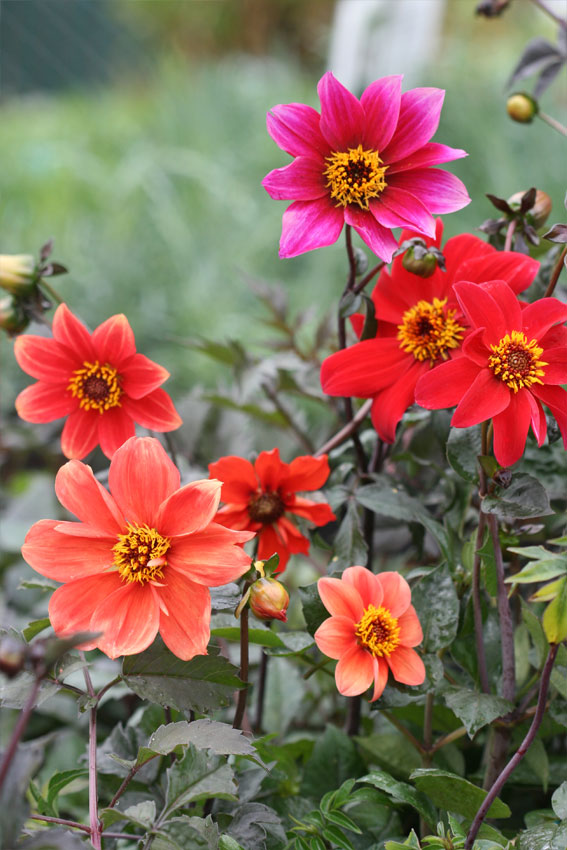 Bishop's Children Dahlias