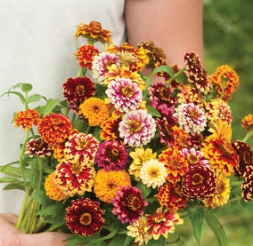 Jazzy Mix Zinnias courtesy of Johnny's Seeds