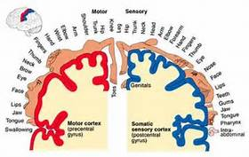 a diagram demonstrating how s=kin is represented in the brain.