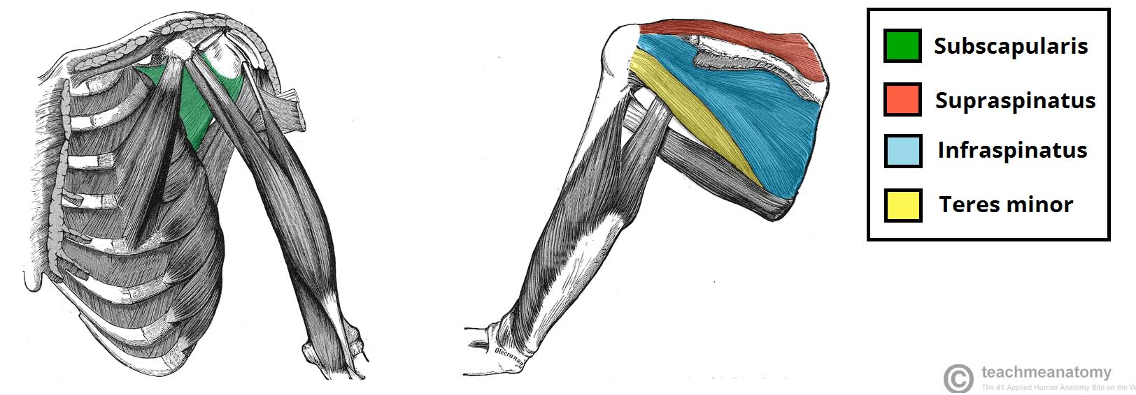 The Rotator Cuff is a great example of the dynamic stabilizers of the shoulder.