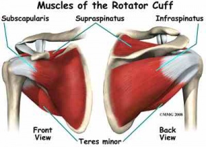 300px-Muscles_Rotator_Cuff.jpg