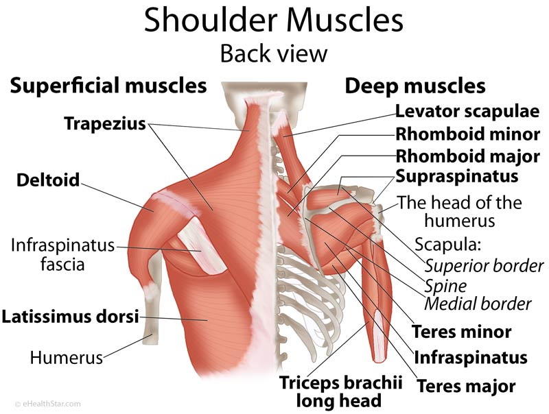 This is the posterior view of the shoulder showing the retractors, elevators and depressors.  The Rhomboids are of particular interest in that they are usually problematic when one experiences bad posture.