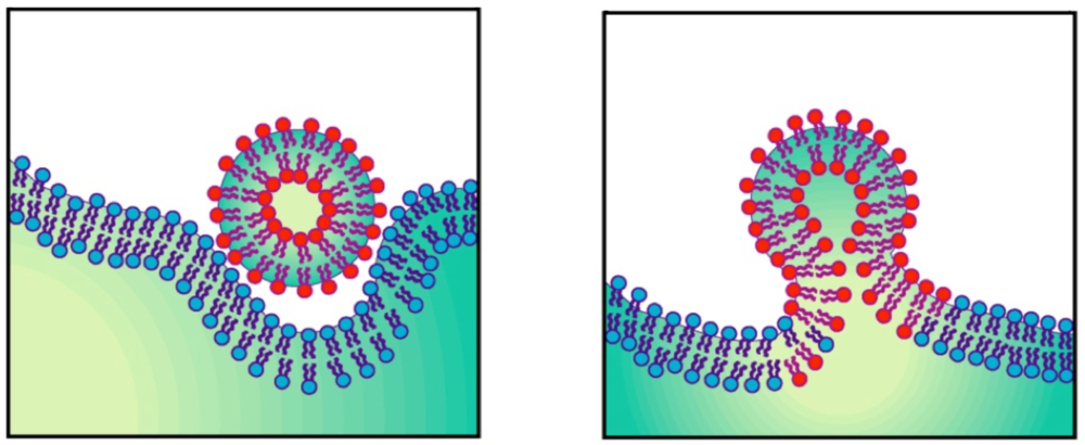 Figure 2. Membrane fusion of an enveloped virus and its target cell.
