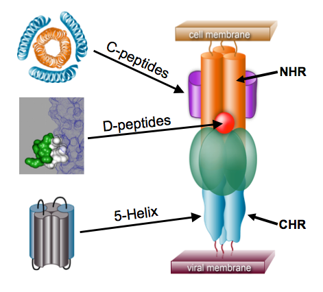 Figure 4. The pre-hairpin intermediate (PHI). The N-heptad repeat (NHR) and C-heptad repeat (CHR) regions are indicated. Different inhibitors work by binding to various regions of the PHI, thereby preventing formation of the trimer-of-hairpins. (review: Eckert & Kim [2001] Ann. Rev. Biochem.)
