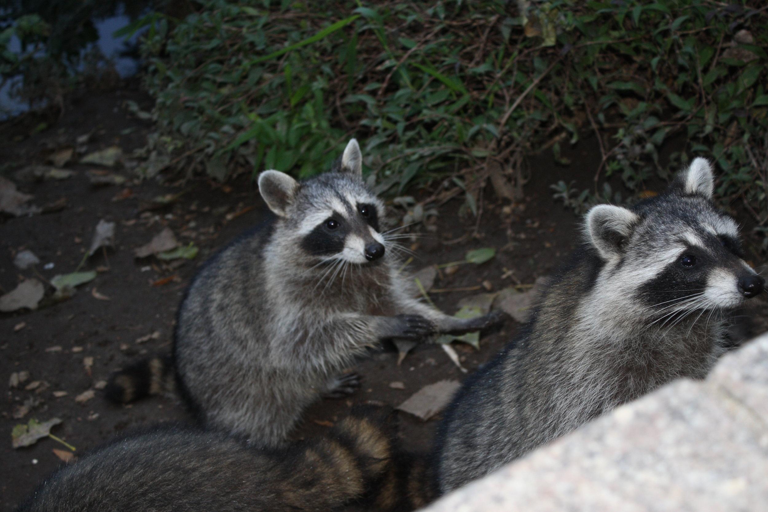 Central Park Raccoons